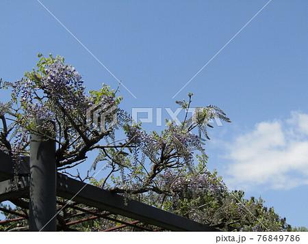 咲き始めた藤棚の藤の木 76849786