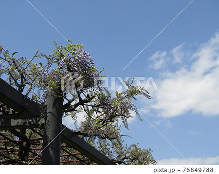 咲き始めた藤棚の藤の木 76849788