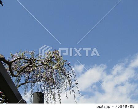咲き始めた藤棚の藤の木 76849789