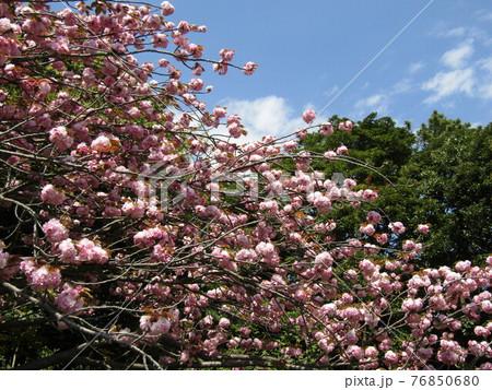 八重の桜は遅咲きのサクラ 76850680