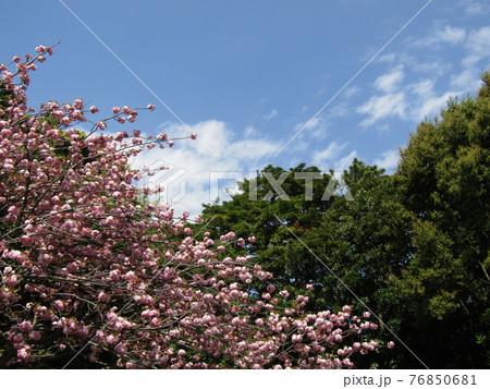 八重の桜は遅咲きのサクラ 76850681