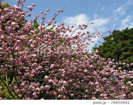 八重の桜は遅咲きのサクラ 76850682