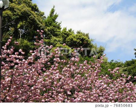 八重の桜は遅咲きのサクラ 76850683