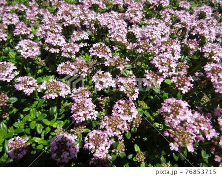 小さい白い花の集まりはハーブの白い花 76853715