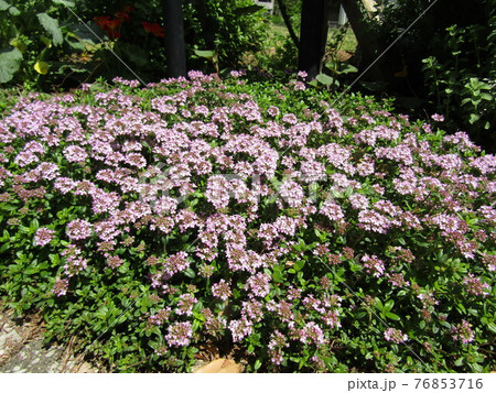小さい白い花の集まりはハーブの白い花 76853716