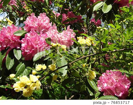 八重咲きの大きい桃色の花はシャクヤクの花 76853717