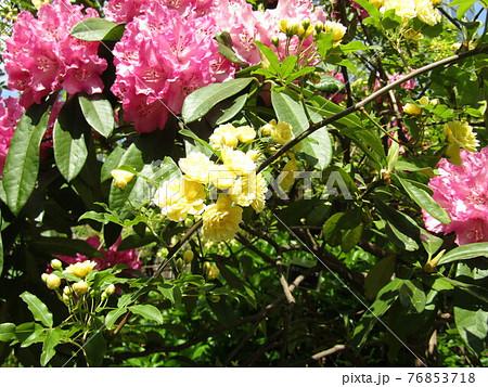 八重咲きの大きい桃色の花はシャクヤクの花 76853718