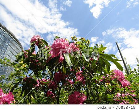 八重咲きの大きい桃色の花はシャクヤクの花 76853719