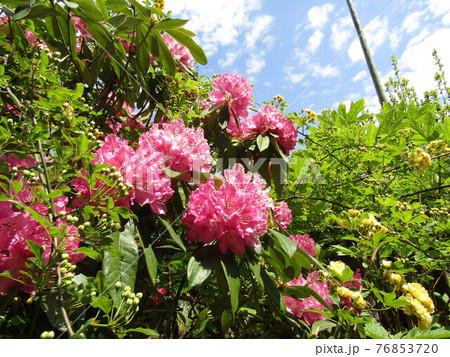 八重咲きの大きい桃色の花はシャクヤクの花 76853720
