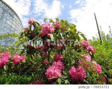 八重咲きの大きい桃色の花はシャクヤクの花 76853721