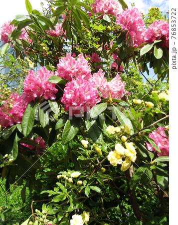 八重咲きの大きい桃色の花はシャクヤクの花 76853722