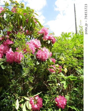 八重咲きの大きい桃色の花はシャクヤクの花 76853723