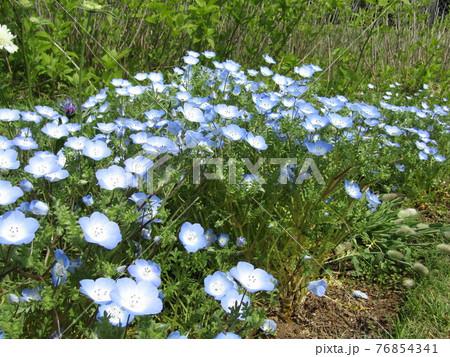 青色の花はネモフィラの花 76854341
