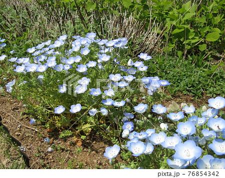 青色の花はネモフィラの花 76854342