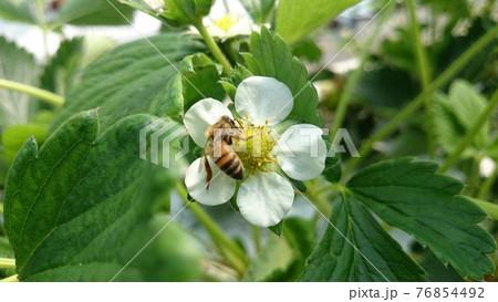 いちごの花で花粉を集めるミツバチ 76854492
