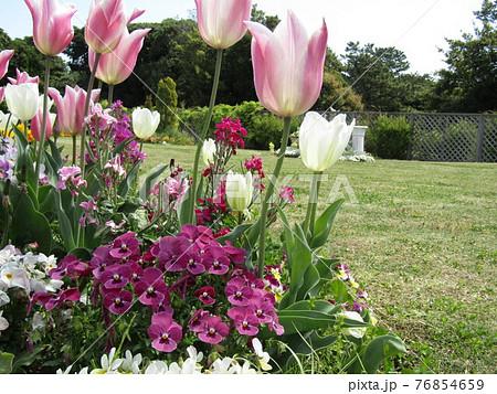 赤白チューリップと白いチューリップと赤いビオラの花 76854659