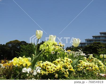 白いチューリップと黄色いビオラの花 76854919
