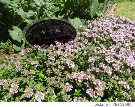 小さい白い花の集まりはハーブの白い花 76855096