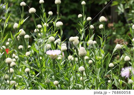 ケンタウレア・ショウキウツギの花の蕾 76860058