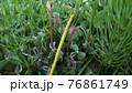 草むらに生えてるつくし 76861749