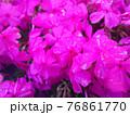 ピンク色の花 76861770