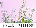 小さくて青い花ピンク色の背景ファンシーな花の写真 76865064