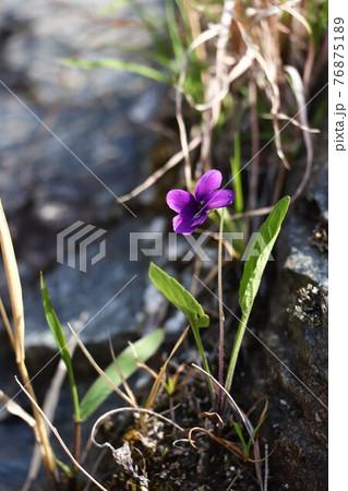 岩畳に咲くすみれ(長瀞自然の道) 76875189