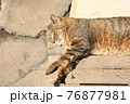 木製の腰掛けの上でうたた寝するネコ(ノラネコ/横アングル) 76877981