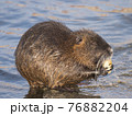 close up coypu, Myocastor coypus or nutria eating vegetable at stone in river water, golden hour natural light, selective focus 76882204