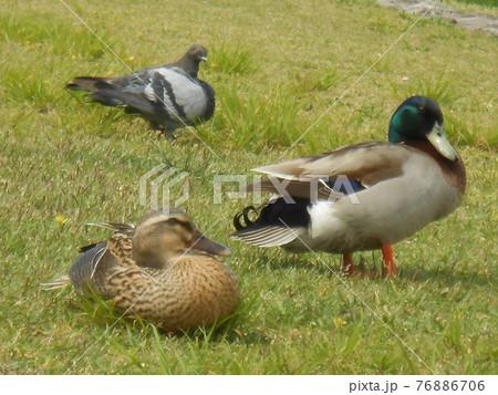 川縁の芝生でくつろぐ鴨のつがいと鳩 76886706