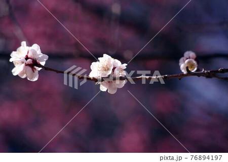 梅 紅梅を背にして咲く、鶯宿の花 76894197