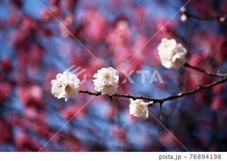 梅 紅梅を背にして咲く、鶯宿の花 76894198