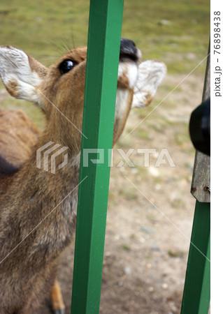 奈良公園の柵越しにこちらを見上げる鹿の写真 76898438