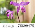 紫蘭 76899475