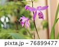 紫蘭 76899477