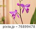 紫蘭 76899478