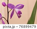 紫蘭 76899479
