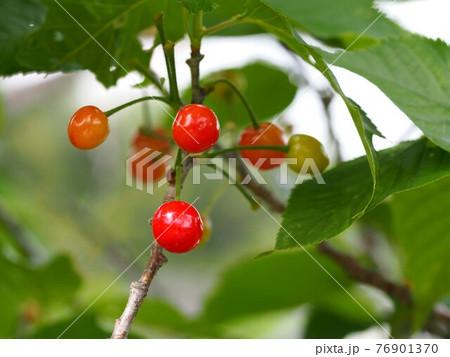 サクランボのクローズアップ(源内山緑地の桜の木) 76901370