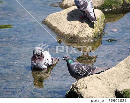 「気持ちいいよ!」「ホント?」(春の鏡川で水浴びするハト) 76901821