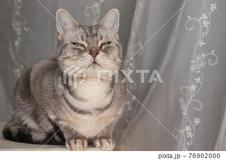 細目で遠くを見つめる猫アメリカンショートヘアブルータビー 76902000