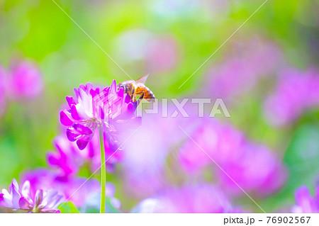 ミツバチとレンゲ畑 76902567