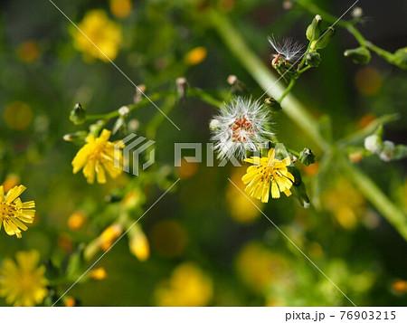 ヤナギタンポポの花と綿毛のクローズアップ 76903215