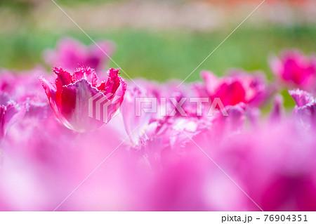 フリンジ咲きのチューリップ 76904351