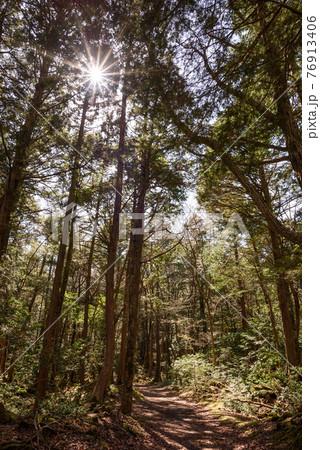 (山梨県)青木ヶ原樹海に差し込む太陽の光・新緑 76913406