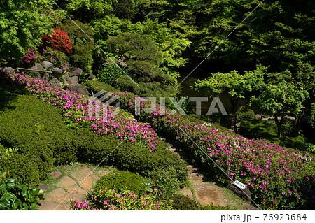 4月 品川396ツツジ(躑躅)の植栽・池田山公園 76923684