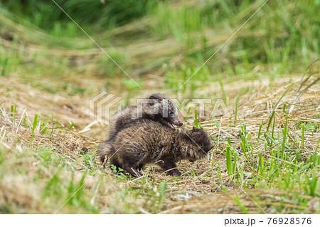 森から出てきてじゃれ合う子狸の兄弟 76928576
