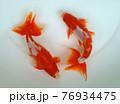 仲良く泳ぐ金魚 76934475