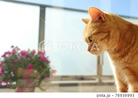 窓辺でぼーっとする猫アメリカンショートヘアレッドタビー 76936993