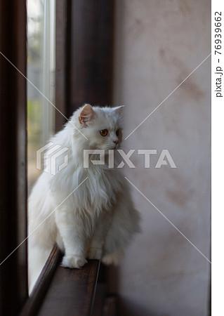 窓枠に座り付近の様子を伺う白い猫 76939662