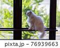 窓枠に座り様子を伺う白い猫 76939663